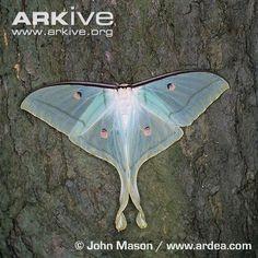 Indian Moon Moth ~ Photo credit John Mason