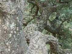 Korkeiche Trunks, Plants, Corse, Mountain Range, Oak Tree, Stems, Plant, Planting, Planets