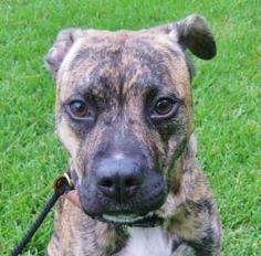 Dog ready for adoption: Boxer / Bulldog / Mixed (short coat) named ...