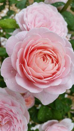 Roses from my garden Queen of Sweden