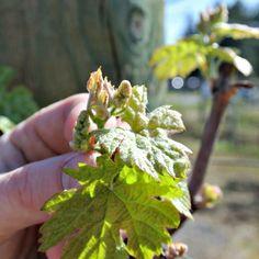 One week after bud break Lane Bud, Vineyard, Wine, Vine Yard, Vineyard Vines, Gem, Eyes, Knob