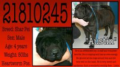 URGENT CODE RED PTS DATE 1-13-14 9 AM #FORTWORTH #TX ID:  21810245 4 YEAR OLD MALE #SHARPEI HW+ 50 LBS SWEET AND HANDSOME https://www.facebook.com/fwaccurgents/posts/10152893166157281