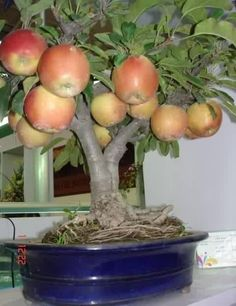 Apple tree in container - Interesting. How can you bonsai an apple tree to get fruit?