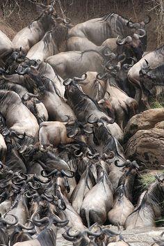 Masai Mara, Kenya -- the wildebeast migration. one of my favorite things ive ever witnessed