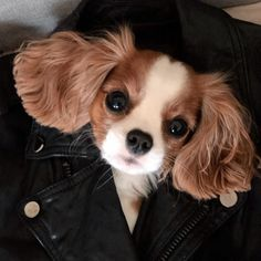 The Cavalier King Charles Spaniel today is a beloved, and increasingly popular, companion dog. Cute Little Dogs, Cute Baby Dogs, Cute Dogs And Puppies, Cute Little Animals, Doggies, Cavalier King Spaniel, Cavalier King Charles Dog, King Charles Puppy, Spaniel Puppies