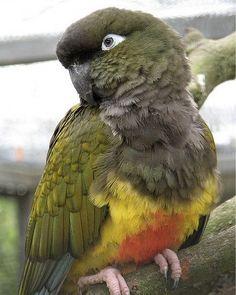 Felsensittich (Eigentlicher Papagei)