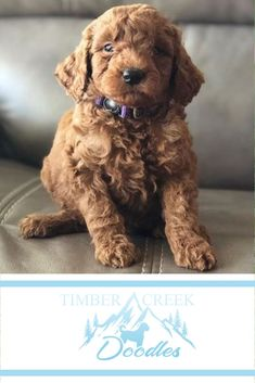 We're dedicated to raising the best Mini Goldendoodle and Mini Bernedoodle puppies for your family. We start with our wonderful parent dogs and spend countless hours socializing the puppies - and we offer a guarantee! Bernedoodle Puppy, Mini Goldendoodle, Goldendoodles, Baby Animals, Cute Animals, Funny Animals, I Love Dogs, Puppy Love, Group Of Dogs