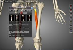 The Semitendinosus Muscle's action consists of the extension of the hip joint, stabilisation of the pelvis, flexion and internal rotation of the knee joint.