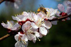 Mehiläinen, Puutarha, Kukka