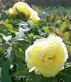 Paeonia tree 'Yellow'