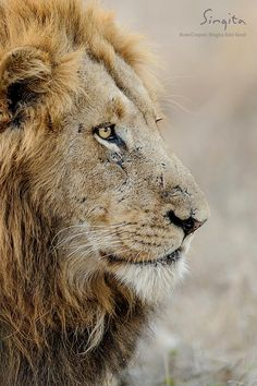 Scars hold stories of hardship and survival for male lions. This was perfectly captured at Singita Sabi Sand