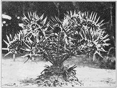 Popular Science Monthly Volume 81 (1912) - Encephalartos horridus in St. George Park Port Elizabeth
