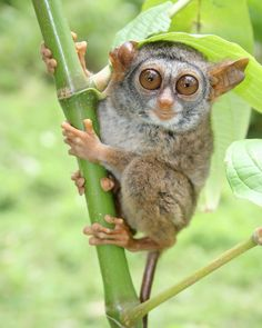 Siau Island Tarsier (click for larger version)