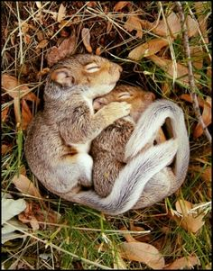 These are squirrels; more specifically, baby wild mountain squirrels! They were in a fight and the bigger squirrel was about to put the little squirrel in a headlock, but they both got tired and fell asleep. How neat is that? That's pretty neat.