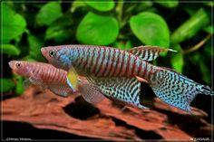 gnatholebias   Gnatholebias zonatus ZON鱂 (條紋顎梳尾鱂) x 3對 (繁殖報告 ...