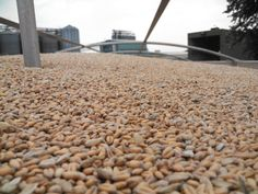 Wheat harvest happened this week.  We also planted soybeans in July!  What's up with that?  Click our wheat to find out.