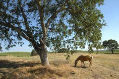 Our palomino at peace. Palomino, Outdoors, Peace, Nature, Animals, Naturaleza, Animales, Animaux, Animal