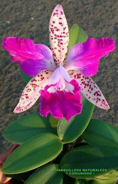Cattleya by antonia Unusual Flowers, Rare Flowers, Types Of Flowers, Flowers Nature, Tropical Flowers, Amazing Flowers, Beautiful Flowers, Orchid Plants, Exotic Plants