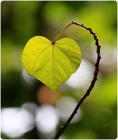 My Heart For You – Leaf, may be a Red Bud.....Heart in nature for sure!!