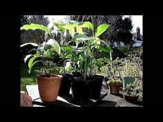 ▶ Update Growing Mango trees from seeds Part 7 - YouTube