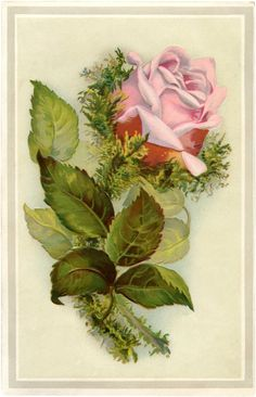 Gorgeous Vintage Pink Moss Rose Image! - The Graphics Fairy