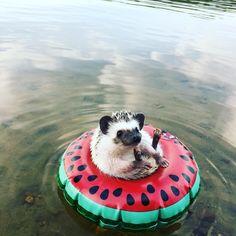 Enjoying the last lazy day of summer!! #ellie #hedgehog #babyhedgehog #lakelife #lastdayofsummer #summer #relaxing #tubing #watermelon…