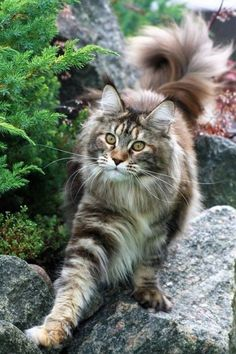 Amazing outdoor shot of this beautiful tabby cat.
