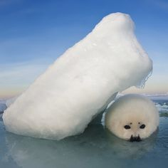 """""""Ice Shelter Photo by @DavidDoubilet @jenniferhayesig Harp seal pups seek shelter from the relentless February and March winds that scour the  seaice…"""""""