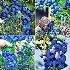 Krzewy owocowe  Borówki amerykańskie,jagoda kamczacka, borówka brusznica, maliny, agresty pienne i kolumnowe, porzeczki,jeżyny, porzeczko-agresty. W naszej ofercie posiadamy najlepsze i najsmaczniejsze gatunki tych krzewów. Wszystkie odmiany odporne są na mrozy .  Zamów krzewy już dziś a wyślemy do Ciebie paczkę z roślinami za pobraniem. W trosce o dobro klientów paczki wysyłamy po ustąpieniu przymrozków . Dom, Blueberry, Berries, Fruit, Flowers, Beautiful, Kitchens, Berry Fruits, Blueberries