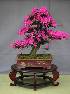Bonsai is the art of keeping miniature trees. These are flowers bonsai tree, which look huge and great in any color.The bonsai tree is a great creature of God. Flowering Bonsai Tree, Japanese Bonsai Tree, Bonsai Tree Types, Bonsai Plants, Bonsai Garden, Bonsai Trees, Bonsai Flowers, Indoor Bonsai, Succulents Garden