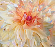 #flowers, #Dahlia, Dancing Dahlia by Michele Avanti Such magnificent flower, the Dahlia. Here is a composite of dahlias I photographed and then layered and digitally painted, accenting and highlighting.   I photographed this dahlia in Roseburg, Oregon.