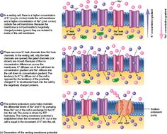This website and diagram described the resting neuron. It is also ...