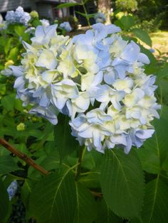 Blue Hydrengia