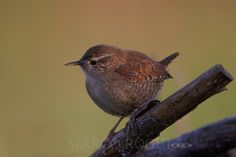 Wren by Marco Roghi on 500px