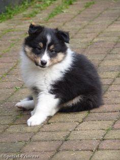 """Curious Eevee Special Princess """"Eevee"""" - our tricolor Shetland Sheepdog (Sheltie) - 7 weeks - Special Princess"""
