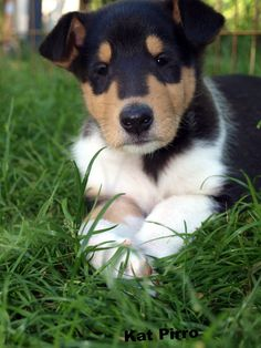 Captain, one of our smooth collie puppies, May 2012.