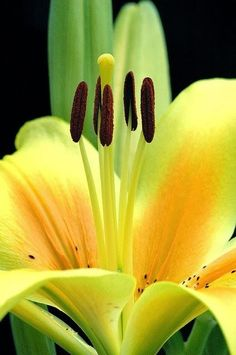 Yellow Lily by miranda Exotic Flowers, Amazing Flowers, My Flower, Yellow Flowers, Flower Power, Beautiful Flowers, Lilly Flower, Dark Flowers, Happy Flowers