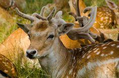 Fallow Deer by Mathias Tapio on 500px