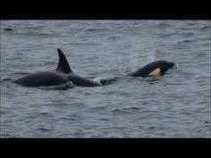 Orca! Killer Whales! Fair Isle, Shetland. - YouTube