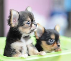 Long haired chihuahua pups