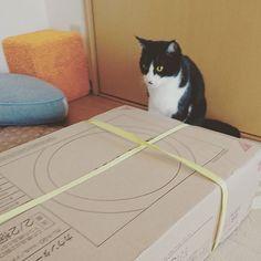 今から食器棚を組み立てます❗ さて、どんだけ邪魔が入るでしょうか😁笑  #lovecats #はちわれ #ハチワレ #ねこ #ネコ #ねこすたぐらむ  #ニャンダフルライフ #ちょびひめ #ねこ部 #ハチワレ部 #猫 #ニャンスタグラム #ウチの猫 #今日も可愛い #cat #cats #adorable #catstagram #instacats #maskandmantle #lovely #cute #nekostagramg #みんねこ #pet #ilovemycat #愛猫 #ストルバイト治療中 #猫あるある
