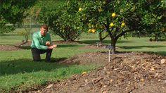 Gardening Australia - Fact Sheet and short video: Citrus Care, growing fruit trees