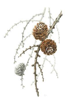 """Rosalind Allchin European Larch Cones """"Larix decidua"""" Graphite and watercolor on paper,16 x 11 inches"""