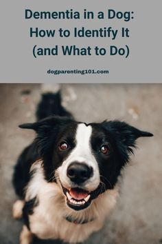 Too often dog dementia goes undiagnosed, while our dogs pee in the house, wander aimlessly, bark for no apparent reason and suffer from anxiety. Find out everything you need to know, including treatment options, in this article. #doggiedementia #doggydementia #dementiaindogs Dealing With Dementia, Dog Pee, Dog Health Care, Dog Anxiety, Separation Anxiety, Dog Care Tips, Dog Barking, Parenting 101, Old Dogs