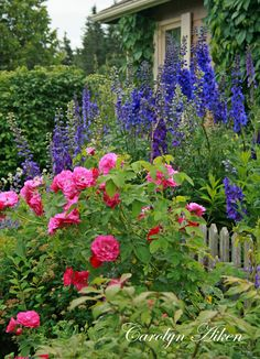 The delphiniums and John Cabot rose look pretty together in this cottage garden with the picket fence. Just beautiful.....