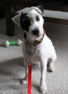 Patches the Jack Russell Terrier Mix