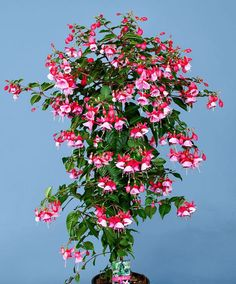 How to Train and Grow a Fuchsia Standard - Page 2 of 2 - Home and Garden Digest