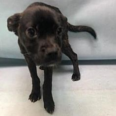 Pictures of Cherish a Chihuahua for adoption in New York, NY who needs a loving home.