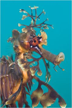 Leafy Seadragon ~ Shannon Conway