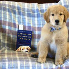 Golden Retriever Puppies – — PoeticGold Farm (PoeticGold...